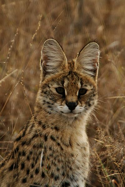 http://www.primack.net/animals/animal-pictures/serval.jpg